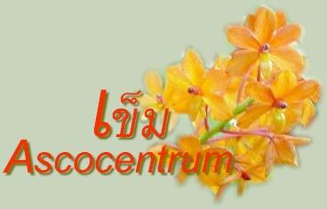 กล้วยไม้สกุลเข็ม-ASCOCENTRUM