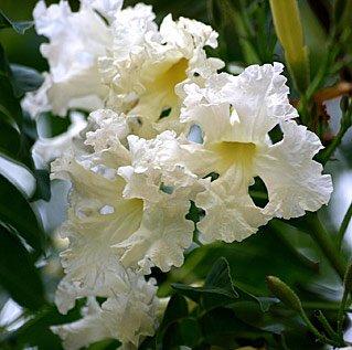 ดอกไม้ประจำจังหวัดกาญจนบุรี-ดอกกาญจนิกา