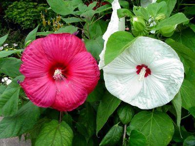 ดอกไม้ประจำจังหวัดปัตตานี-ดอกชบา