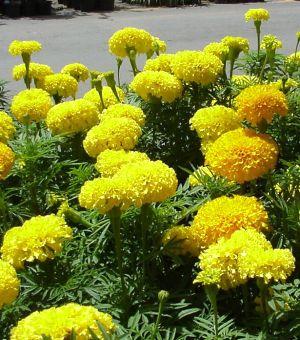 ดอกไม้ประจำจังหวัดสมุทรปราการ-ดอกดาวเรือง