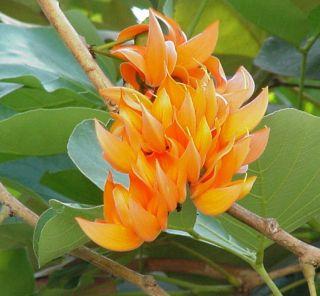 ดอกไม้ประจำจังหวัดเชียงใหม่,ลำพูน,อำนาจเจริญ,อุดรธานี-ดอกทองกวาว