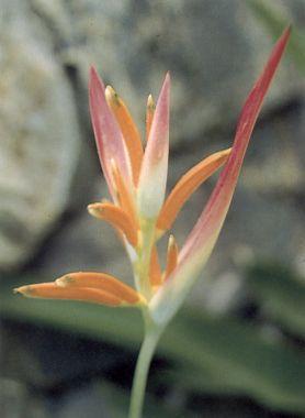 ดอกไม้ประจำจังหวัดลำปาง-ดอกธรรมรักษา