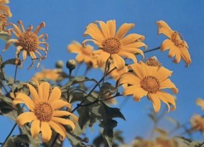 ดอกไม้ประจำจังหวัดแม่ฮ่องสอน-ดอกบัวตอง