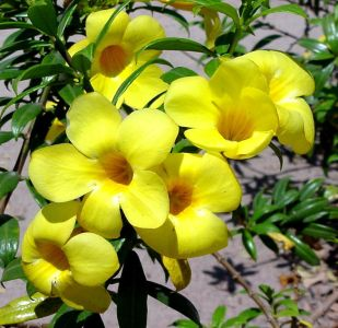 ดอกไม้ประจำจังหวัดนราธิวาส-ดอกบานบุรี