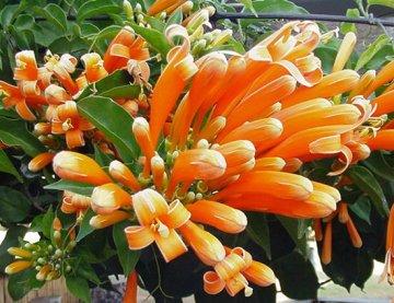 ดอกไม้ประจำจังหวัดเชียงราย-ดอกพวงแสด