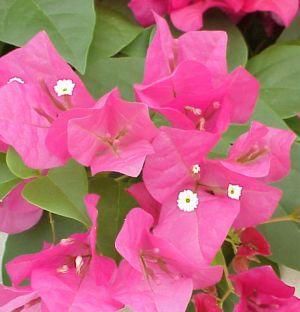 ดอกไม้ประจำจังหวัดภูเก็ต-ดอกเฟื่องฟ้า