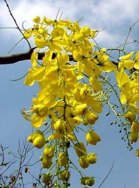 ดอกไม้ประจำจังหวัดขอนแก่น,นครศรีธรรมราช-ดอกราชพฤกษ์
