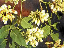 ดอกไม้ประจำจังหวัดนครราชสีมา-ดอกสาธร