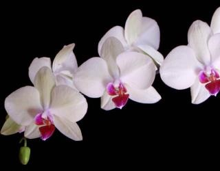 ดอกกล้วยไม้ราตรี ดอกไม้ประจำชาติอินโดนีเซีย