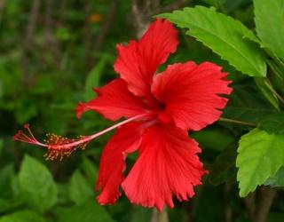ดอกพู่ระหง ดอกไม้ประจำชาติมาเลเซีย