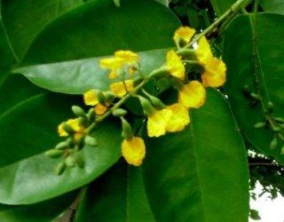ดอกประดู่ ดอกไม้ประจำชาติเมียนมาร์