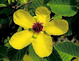 ดอกส้านชวา ดอกไม้ประจำชาติบรูไน