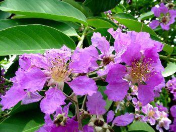 ดอกอินทนิลน้ำ ดอกไม้ประจำจังหวัดสกลนคร