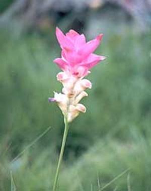 ดอกกระเจียว ดอกไม้ประจำจังหวัดชัยภูมิ