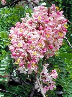 ดอกชัยพฤกษ์ ดอกไม้ประจำจังหวัดชัยนาท