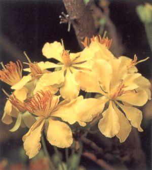 ดอกช้างน้าว ดอกไม้ประจำจังหวัดมุกดาหาร