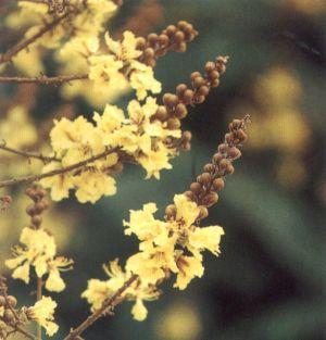 ดอกนนทรี ดอกไม้ประจำจังหวัดฉะเชิงเทรา, นนทบุรี, พิษณุโลก