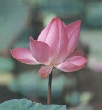 ดอกบัวหลวง ดอกไม้ประจำจังหวัดปทุมธานี, พิจิตร, สุโขทัย, หนองบัวลำภู, อุบลราชธานี