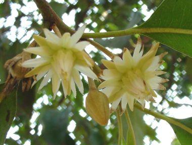 ดอกพิกุล ดอกไม้ประจำจังหวัดกำแพงเพชร, ยะลา, ลพบุรี