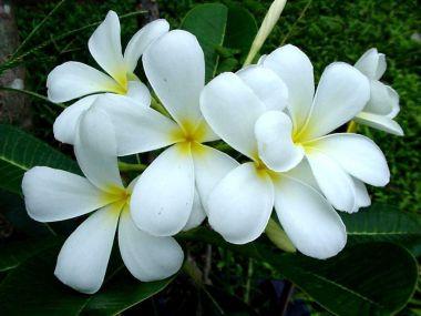 ดอกลั่นทมขาว (จำปาขาว) ดอกไม้ประจำจังหวัดมหาสารคาม