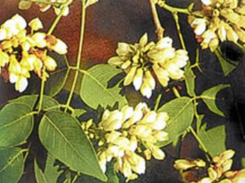 ดอกสาธร ดอกไม้ประจำจังหวัดนครราชสีมา