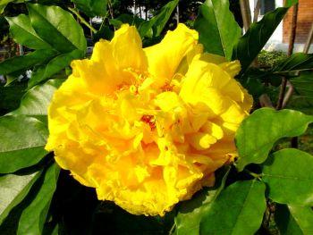 ดอกสุพรรณิการ์ ดอกฝ้ายคำ ดอกไม้ประจำจังหวัดนครนายก บุรีรัมย์ สระบุรี สุพรรณบุรี อุทัยธานี