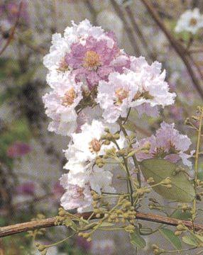 ดอกเสลา ดอกไม้ประจำจังหวัดนครสวรรค์