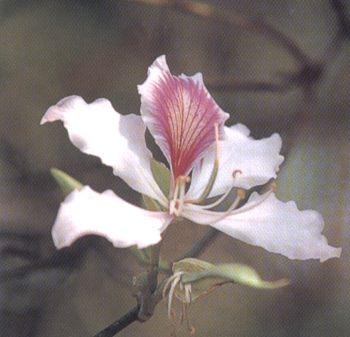 ดอกเสี้ยวดอกขาว ดอกไม้ประจำจังหวัดตาก, น่าน