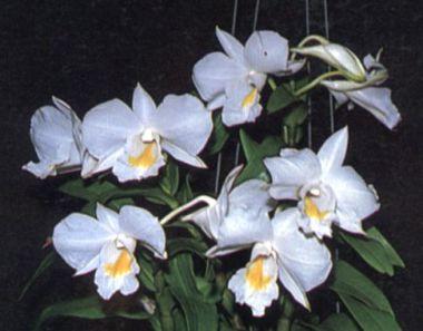 ดอกโกมาชุม ดอกไม้ประจำจังหวัดระนอง