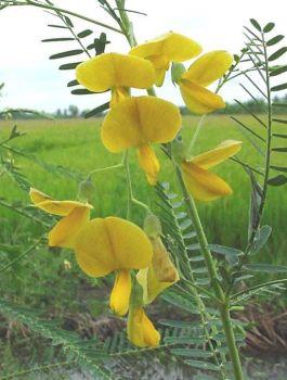 ดอกโสน ดอกไม้ประจำจังหวัดพระนครศรีอยุธยา