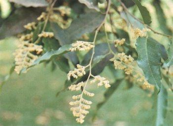 ต้นไม้ประจำจังหวัดปัตตานี ต้นตะเคียนทอง