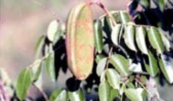ต้นไม้ประจำจังหวัดสุโขทัย ต้นมะค่าโมง