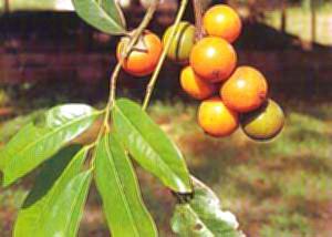 ต้นไม้ประจำจังหวัดอ่างทอง ต้นมะพลับ