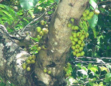 ต้นไม้ประจำจังหวัดชุมพร ต้นมะเดื่อชุมพร