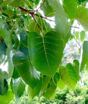 ต้นไม้ประจำจังหวัดปราจีนบุรี ต้นโพศรีมหาโพธิ