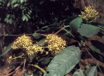 ต้นไม้ประจำจังหวัดยะลา ต้นโสกเหลือง (ต้นศรียะลา)