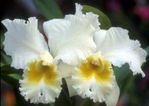 ดอกแคทลียา ดอกกล้วยไม้ ควีนสิริกิติ์ Queen Sirikit