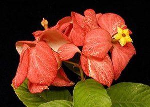 ดอกดอนญ่า ควีนสิริกิติ์ Queen Sirikit