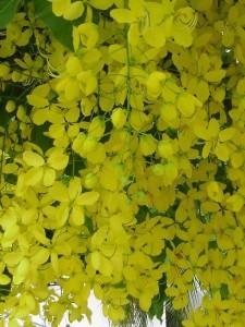 ต้นราชพฤกษ์ ต้นไม้ประจำชาติไทย ดอกไม้ประจำชาติไทย