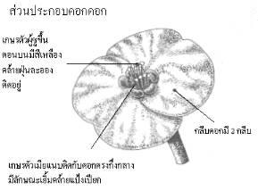 โป๊ยเซียน-ลักษณะโดยทั่วไป