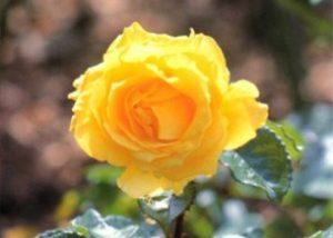 ดอกกุหลาบ ควีนสิริกิติ์ Queen Sirikit