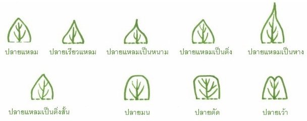ปลายใบ (leaf apex)