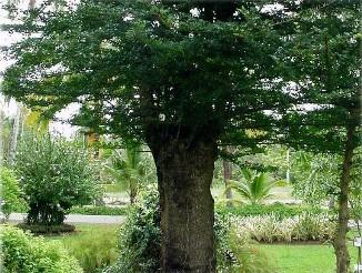 มะสัง ต้นมะสัง ชมไม้ดัดที่วัดโพธิ์ การปลูกไม้ดัด