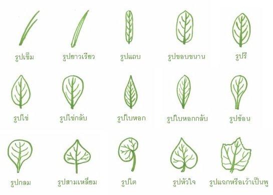 รูปร่างใบ (leaf shape)