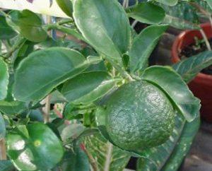 ส้มซ่า ปลูกต้นไม้ตามทิศ