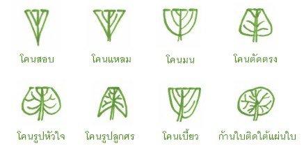 โคนใบ (leaf base)