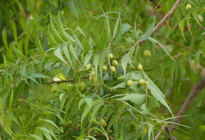 ต้นสะเดาอินเดีย พรรณไม้ในพุทธประวัติ